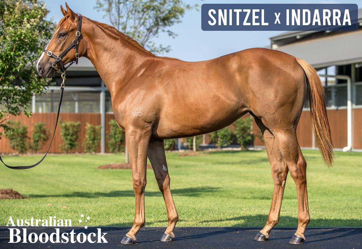 Snitzel X Indarra Filly – Looks A 2yo Type