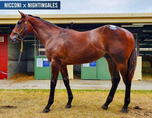 Nicconi x Nightingales Colt - The Beast!