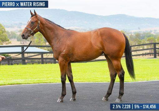 Pierro x Water Rising Filly - Closely Related To Headwater