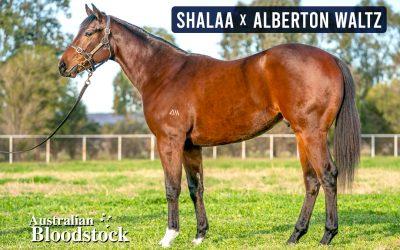 Australian Bloodstock secure more Shalaa progeny!