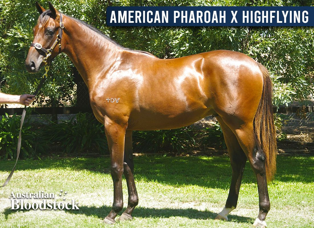 American Pharoah X Highflying – Colt