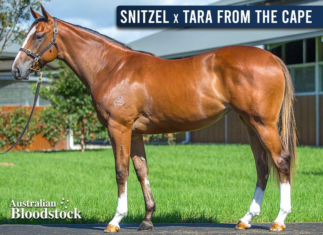 Snitzel X Tara From The Cape – Filly